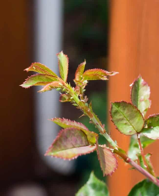Getting Rid of Aphids with Insecticidal Soap